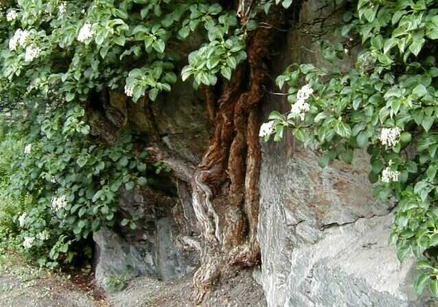 Hortenzie popnav - Ortensia rampicante petiolaris ...